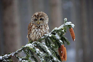 Tawny Owl, (Strix aluco), adult on branch in winter, Zdarske Vrchy, Bohemian-Moravian Highlands, Czech Republic Controlled conditions with captive bird.  -  Aflo