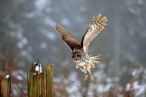 Tawny Owl, (Strix aluco), adult landing on branch in winter, Zdarske Vrchy, Bohemian-Moravian Highlands, Czech Republic Controlled conditions with captive bird.  -  Aflo