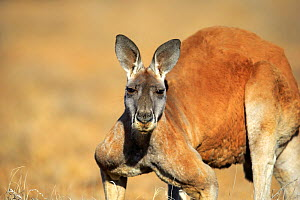Red kangaroo, (Macropus rufus), adult male portrait, Sturt National Park, New South Wales, Australia  -  Aflo