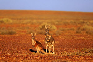 Red kangaroo, (Macropus rufus), female with subadult, Sturt National Park, New South Wales, Australia  -  Aflo