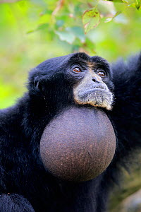 Siamang, (Symphalangus syndactylus), adult calling with vocal sac inflated, captive occurs in South East Asia  -  Aflo