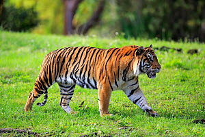 Sumatran tiger, (Panthera tigris sumatrae), adult male walking, captive occurs in Sumatra, Asia  -  Aflo