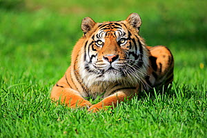 Sumatran Tiger, (Panthera tigris sumatrae), adult male, captive occurs in Sumatra, Asia  -  Aflo