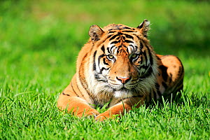 Sumatran Tiger, (Panthera tigris sumatrae), adult male alert, captive occurs in Sumatra, Asia  -  Aflo