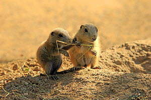 Black tailed prairie dog, (Cynomys ludovicianus), two pups feeding, captive occurs in North America - Aflo