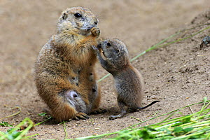 Black tailed prairie dog, (Cynomys ludovicianus), mother with young feeding, North America - Aflo