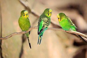 Budgerigar, (Melopsittacus undulatus), group of males on tree, captive, occurs in Australia. - Aflo