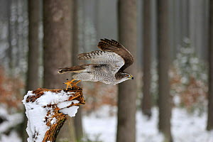 Northern Goshawk, (Accipiter gentilis), adult in winter in snow on branch starts flying, Zdarske Vrchy, Bohemian-Moravian Highlands, Czech Republic Controlled conditions with falconry bird.  -  Aflo