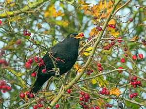 RF - Blackbird (Turdus merula) male feeding on berries in Hawthorn (Crataegus monogyna) hedge in autumn,  Norfolk, England, UK, November. (This image may be licensed either as rights managed or royalt...  -  Ernie  Janes