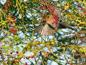 RF - Blackbird (Turdus merula) female flying and feeding on berries in Hawthorn (Crataegus monogyna) hedge in autumn, Norfolk, England, UK, November. (This image may be licensed either as rights manag...  -  Ernie  Janes