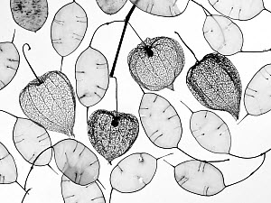 Chinese lanterns (Physalis alkekengi) skeletons and Honesty seed pods (Lunaria annua)  -  Ernie  Janes
