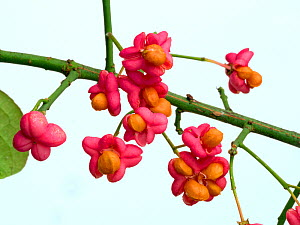 Spindle (Euonymus europacus) berries  -  Ernie  Janes
