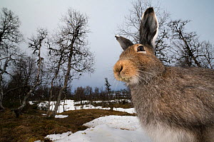 Mountain hare (Lepus timidus) portrait, moulting from winter to summer coat, Vauldalen, Norway. May. - Erlend Haarberg