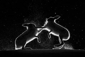 Mountain hares (Lepus timidus) backlit, fighting at night, Norway. April. - Erlend Haarberg