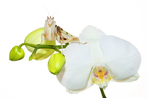 RF - Orchid mantis (Hymenopus coronatus) on Phalenopsis orchid, captive, occurs in South East Asia. (This image may be licensed either as rights managed or royalty free.)  -  Edwin Giesbers