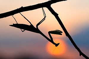 RF - African mantis (Sphodromantis gastrica) silhouetted against the sun captive, occurs in Africa. (This image may be licensed either as rights managed or royalty free.) - Edwin Giesbers