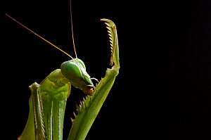 RF - Giant African mantis (Sphodromantis viridis) grooming captive, occurs in West Africa. (This image may be licensed either as rights managed or royalty free.) - Edwin Giesbers
