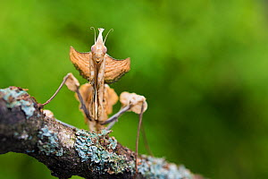 RF - Devil's flower mantis (Idolomantis diabolica) female, captive, occurs in Africa. (This image may be licensed either as rights managed or royalty free.) - Edwin Giesbers