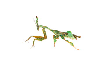 RF - Ghost mantis (Phyllocrania paradoxa) captive occurs in Africa. (This image may be licensed either as rights managed or royalty free.)  -  Edwin Giesbers