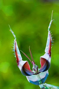 RF - Devil's flower mantis (Idolomantis diabolica) male in defensive posture, captive, occurs in Africa. (This image may be licensed either as rights managed or royalty free.) - Edwin Giesbers