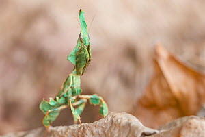 Ghost mantis (Phyllocrania paradoxa) captive occurs in Africa.  -  Edwin Giesbers