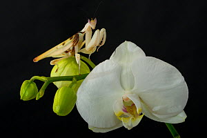 Orchid mantis (Hymenopus coronatus) on Phalenopsis orchid flower, captive, occurs in South East Asia.  -  Edwin Giesbers