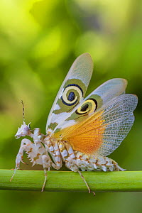 Spiny flower mantis (Pseudocreobotra wahlbergii) with wings expanded, captive, occurs in Africa.  -  Edwin Giesbers
