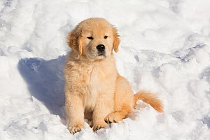 Golden Retriever pup in snow, Holland, Massachusetts, USA.  -  Lynn M. Stone