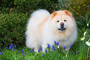 Chow Chow in spring flowers, Waterford, Connecticut, USA.  -  Lynn M. Stone