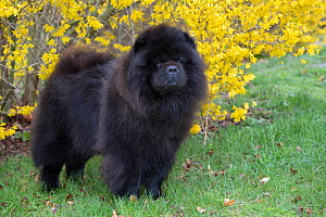 Chow Chow in spring, Waterford, Connecticut, USA.  -  Lynn M. Stone