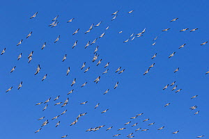 American white pelicans (Pelecanus erythrorhynchos) on northward mid-April migration from south Florida, Florida, USA, April. - Lynn M. Stone