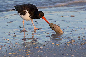 American oystercatcher (Haematopus palliatus) feeding on Calico Clam, shortly after dawn, seashore, Tampa Bay, St. Petersburg, Florida, USA. April.  -  Lynn M. Stone