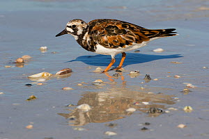 Ruddy turnstone (Arenaria interpres) pecking at  a live Lettered olive snail (Oliva sayana) on a sandy beach at low tide, Tampa Bay, St. Petersburg, Florida, USA. April.  -  Lynn M. Stone