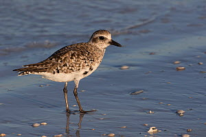 Black-bellied plover (Pluvialis squatarola), beginning to show breeding plumage, foraging along beach, St. Petersburg, Florida, USA. April.  -  Lynn M. Stone