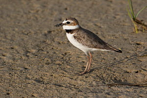 Semipalmated plover (Charadrius semipalmatus) on mud bar at low tide, St. Petersburg, Florida, USA. April.  -  Lynn M. Stone