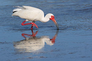 White Ibis (Eudocimus albus) foraging at low tide, Tampa Bay, St. Petersburg, Florida, USA. April  -  Lynn M. Stone
