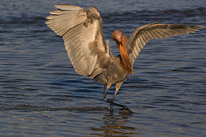 Reddish Egret (Egretta rufescens) chasing small fish with its characteristic open-wing posture,  Pinellas County, Florida, USA. Non-ex. - Lynn M. Stone