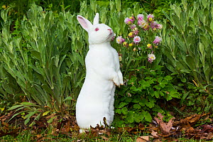 Albino Mini Rex rabbit with Colombine in garden, East Haven, Connecticut, USA. May. - Lynn M. Stone