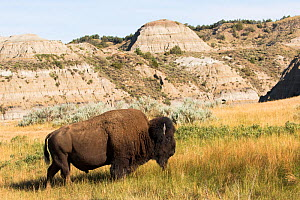 American bison (Bison bison) bull on short-grass prairie, near badlands characteristic of the park, Theodore Roosevelt National Park, North Dakota, USA. June.  -  Lynn M. Stone
