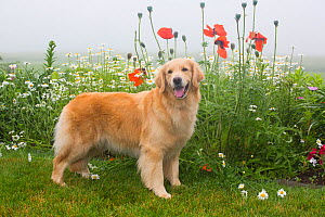 Golden Retriever with flowers, poppies and daisies, Litchfield, Connecticut, USA, June. - Lynn M. Stone
