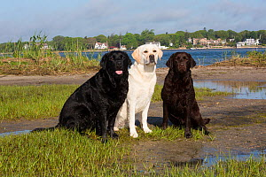 Labrador retriever, three different colours together, black, yellow, chocolate, at edge of salt marsh, Charlestown, Rhode Island, USA, June. - Lynn M. Stone
