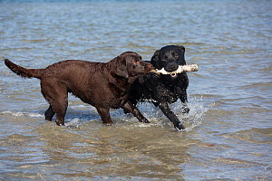 Black and chocolate Labrador Retrievers playing with toy in bay, Charlestown, Rhode Island, USA. Non-ex. - Lynn M. Stone