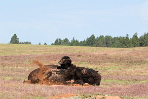 American bison (Bison bison), rolling in new dust wallow, Wind Cave National Park, South Dakota, USA. Non-ex. - Lynn M. Stone