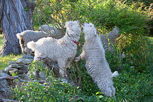 Angora Goats browsing shrub leaves along stone fence in mid-September, East Hampton, Connecticut, USA. Non-ex.  -  Lynn M. Stone