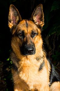 German Shepherd  head portrait , Clinton, Connecticut, USA . Non-ex.  -  Lynn M. Stone