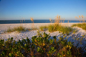 Upper north beach on Miullet Key, with Sea Oats (Uniola paniculata) growing on sand dunes St. Petersburg, Florida, USA. November.  -  Lynn M. Stone