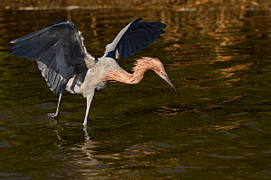 Reddish Egret (Egretta rufescens) in winter plumage, fishing in saltwater lagoon. St. Petersburg, Florida, USA, November.  -  Lynn M. Stone