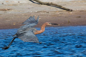 Reddish Egret (Egretta rufescens) in non-breeding, winter plumage, in flight over saltwater lagoon, St. Petersburg, Florida, USA. November.  -  Lynn M. Stone