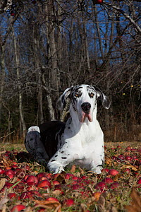 Great dane female with uncropped ears, in orchard with fallen apples, North Granby,  Connecticut, USA.  -  Lynn M. Stone