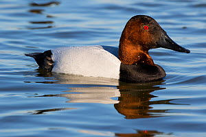 Canvasback duck (Aythya valisinereria) drake paddling on Choptank River, where the species winters, Chesapeake Bay Eastern Shore, Maryland, USA. February.  -  Lynn M. Stone